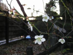 梅の花 002